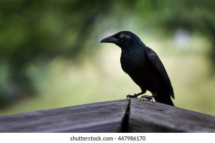 Brewer's Blackbird perched on a fence with shallow Depth of Field.