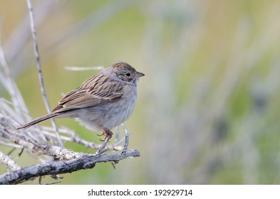 Brewer's sparrow perched on tree branch in Colorado