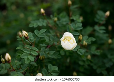 Briar, brier, dog-rose bud blooming. Green leafs background