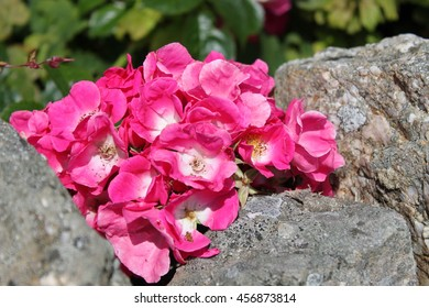 briar roses growing through rock