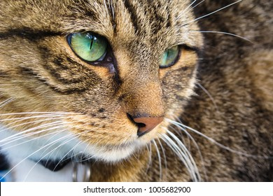 Briarcliff Manor, NY/USA- Oct. 15, 2011: Striking Cat With Piercing, Green Eyes Stares Intently Into Distance