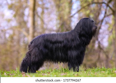 Briard - Berger de Brie shepherd dog from France show quality female