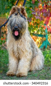 briard dog sitting in a natural autumnal natural background