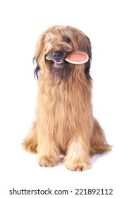 Briard holding brush in its mouth on white background