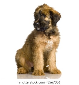Briard sitting in front of white background