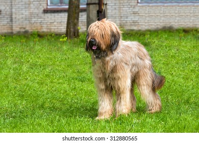 Briard stands. The Briard stands on the grass in the park.