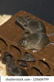 Brick full of mice for bird of prey breeding