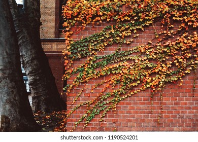 Brick wall covered with wild grape ivy leaves in autumn. Golden fall foliage
