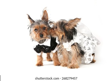 Bridal Couple Yorkshire Terrier Puppies on White Background