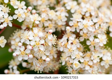 Bridal-wreaths, Rosaceae family, opaque white flowers background. Macro horizontal full frame crop.