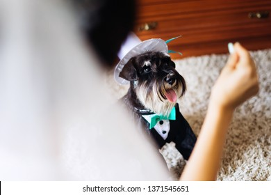 bride with bridal veil raised her hand up. mini schnauzer in a suit and a hat cylinder looks at the hand