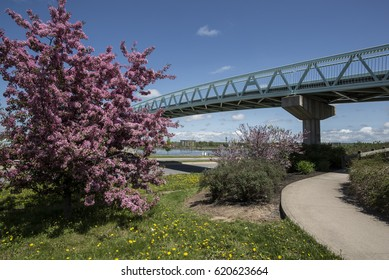 Bride crossing Saint John River, Fredericton, New Brunswick, Canada.  Blue bridge spanning river with pink blossom tree in foreground