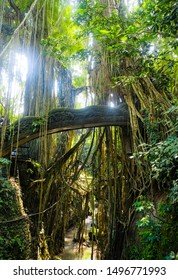 Bridge in the jungle entwined with vines. Rays of the sun break through the vines in the jungle on the island of Bali