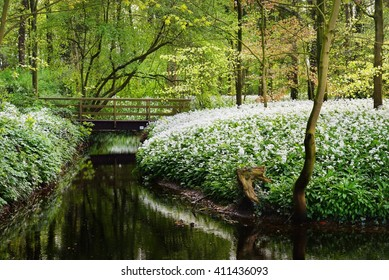bridge over the river and the blooming wild garlic (Allium ursinum) in Stochemhoeve, Leiden, the Netherlands