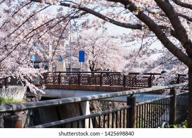 bridge surround by cherry blossom  flowers full bloom along Yamazaki River, Nagoya, Japan. Famous travel or sightseeing landmark to enjoy sakura during spring in Aichi, Chubu.