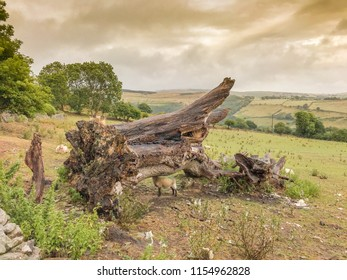 BRIDGEND, WALES - AUGUST 2018: A sheep standing under the uprooted trunk of a large tree in a field in Llangeinor, near Bridgend, Wales