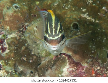 Bridled monocle bream or two-line monocle bream ( Scolopsis bilineata )  swimming over coral reef of Bali, Indonesia