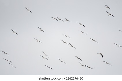 A brief of pelicans, Pelecanus erythrorhynchos, fly above the Red River in Elm Grove, La., U.S.A.