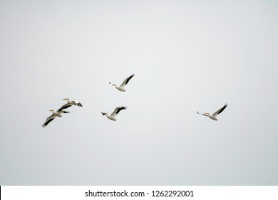A  brief of white pelicans, Pelecanus erythrorhynchos, fly above the Red River in Elm Grove, La., U.S.A.
