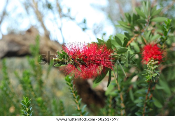brifgt red flower of mimosa pudica