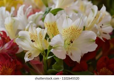 Bright alstroemeria. White alstroemeria, red alstroemeria