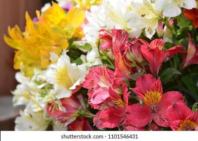 Bright alstroemerias white ,red, yellow alstroemeria