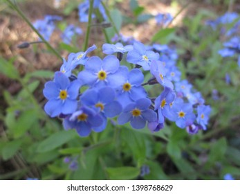 Bright attractive blue-yellow forget-me-not flowers close up