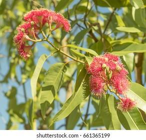 Bright Australian sunlight on red eucalyptus flowers with green gum leaves