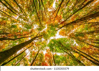 Bright autumn beech trees crowns, branches, fall in foliar forest.
