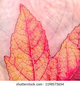 The bright autumn colour of a maple leaf held on a hand showing the patterns of the leaf veins and the veins in a hand
