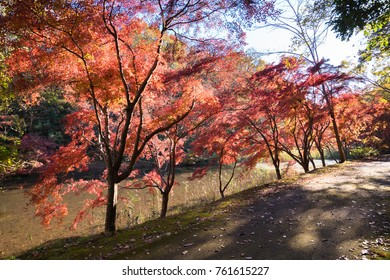 Bright autumn forest path with colorful trees . Autumn landscape. Walks in the forest. Beautiful red maple , Japan.