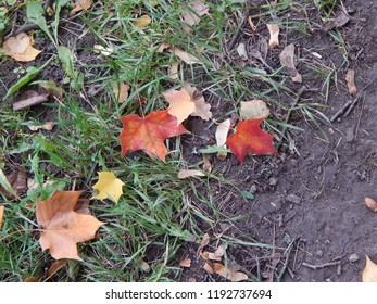 A bright autumn maple leaf lies on the ground