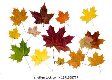 bright autumn maple leaves on white background.