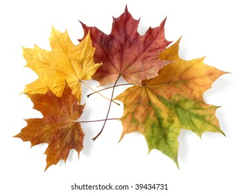 bright autumnal maple leaves on white