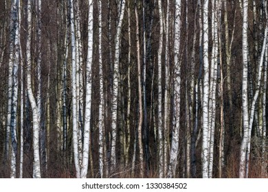 Bright background image with sunliy birch tree trunks