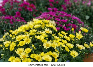 Bright background from yellow and pink decorative chrysanthemum