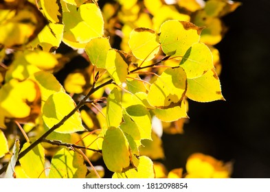 Bright, back-lit yellow aspen leaves.