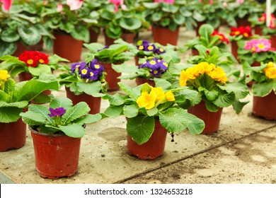 Bright beautiful blooming primroses in pots in greenhouse. Concept home flowers.