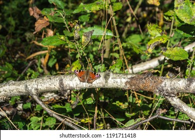 Bright beautiful butterfly on a fallen birch trunk on a Sunny day.