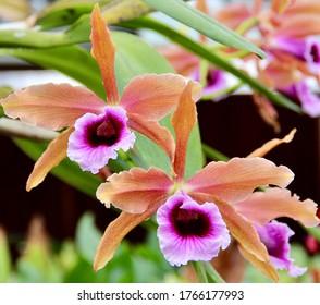 Bright and beautiful Cattleya (Laelia) grandis orchid species in bloom.