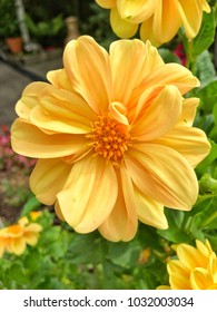 Bright and beautiful Dahlia flower growing in natural garden setting