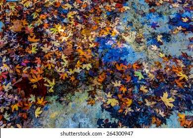 Bright Beautiful Fall Foliage Floating in a Clear Creek from Stunning Maple Trees in Lost Maples State Park, Texas.