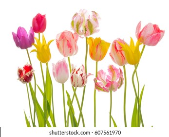 Bright beautiful flowers of tender spring tulips, various varieties and flowers on an isolated white background