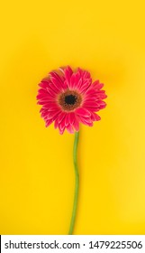 Bright beautiful gerbera flowers on sunny yellow background. Concept of warm summer and early autumn. Place for text, lettering or product. View from above, Copy space. Flatlay