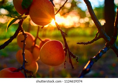 Bright beautiful juicy ripe orange apricots.  The concept of the summer harvest, canning. Apricot day. Sunset and apricots.