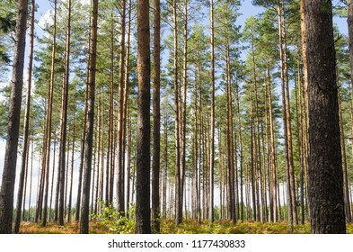 Bright and beautiful pine tree forest with tall tree trunks