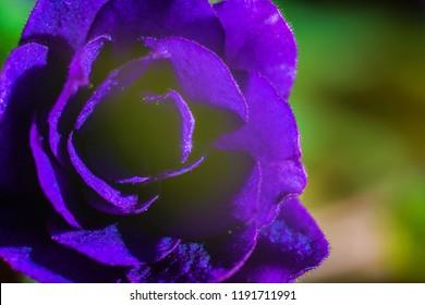 Bright beautiful purple flower petals close-up.