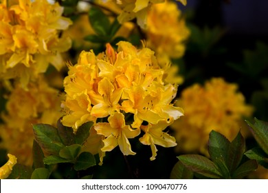 Bright and beautiful rhododendron blooms in the spring time around the State Capitol building in Olympia, Washington.