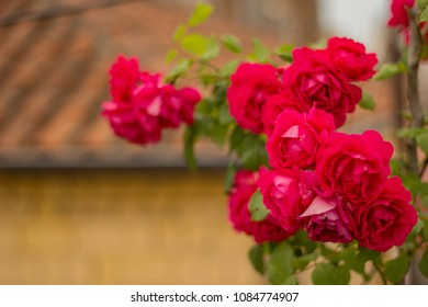 Bright and Beautiful Roses