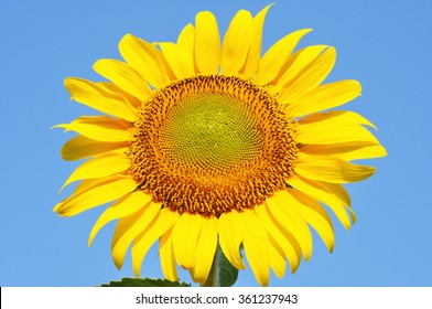 bright beautiful sunflower against blue sky